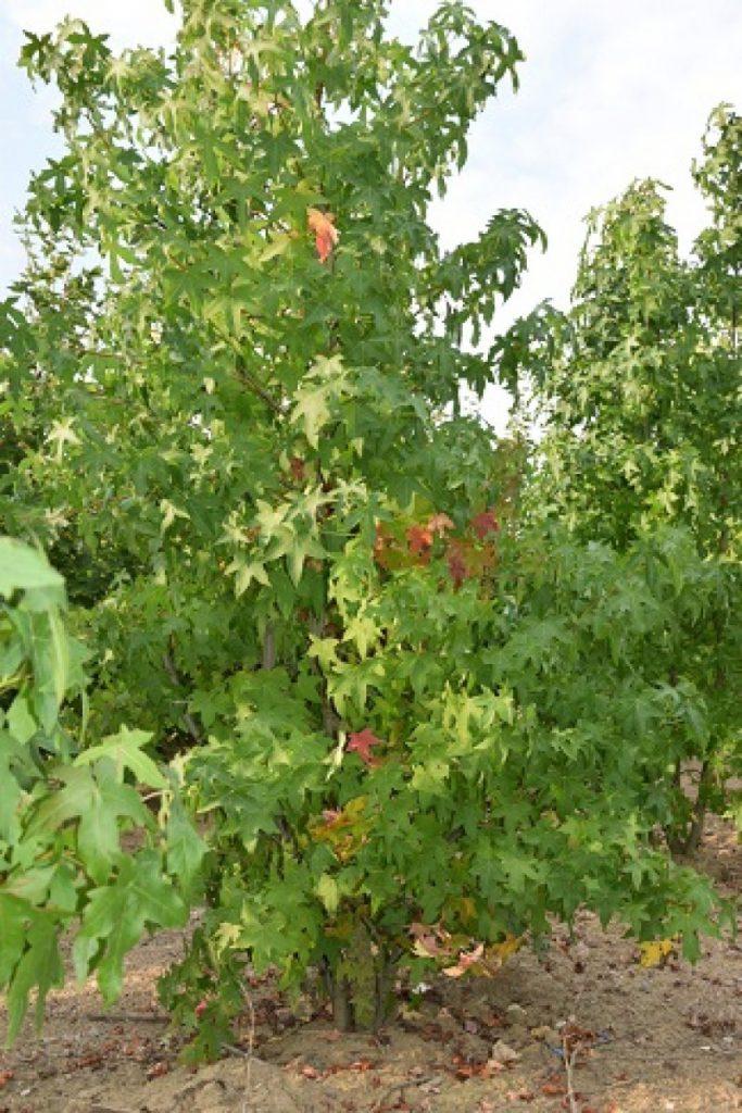 Meerstammige Amberboom